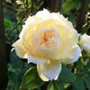 2012【無農薬でバラ栽】マルク・アントン・シャルポンティエ