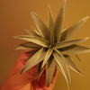 Tillandsia capitata 'yellow star' が発根してきた