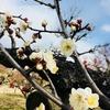 【冬のおでかけ】大阪城公園で梅見散歩