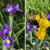 暖かな陽ざしに誘われて,黄花のアイリス,イチハツが開花しました.アグロステンマ(麦仙翁)は,二輪目が開花.ミヤコワスレ,そしてヒメウツギは満開.5月を思わせる陽気の中,春〜初夏にかけて咲く花たちに元気をもらっています.そして,種を播いてから8年目.一株だけですが,ササユリの形状に成長しはじめました.花はまだ期待できないかと思っていますが----