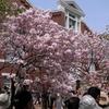 桜の通り抜けとGR。