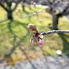 二条城の桜は満開までもう少し