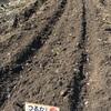 春の陽気に誘われて、つるなしいんげん(一回目)と、春大根の種蒔きをしました。