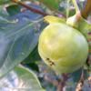 柿の葉っぱさん(≧◇≦)でも、 昆虫さん元氣 ♫♫♫