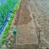 茎ブロッコリーの畝を立てました!