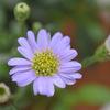 【2018.9.13】紫苑の花をお迎え。
