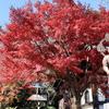 【YouTube 更新】鎌倉いいね。これで鎌倉の紅葉は見納め in 長谷寺。