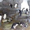 海遊館 イワトビペンギン