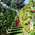 【メルボルンから車で50分】大粒の新鮮な苺狩りが出来るThe Strawberry Forestに行って来ました!