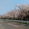 どこまでも続く桜並木 巴川排水路