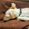 夢を見る犬。