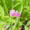 カラスノエンドウ ヤハズエンドウ Vicia sativa subsp. nigra