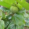 柿の実がつく