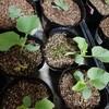 春植えのメロン栽培 まとめ