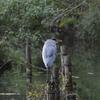 早朝探鳥・善福寺公園でカワセミを探していたのだが…/2020-10-07