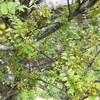 山椒の季節