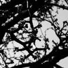 OLYMPUSのコンデジ 「XZ-10」で2017年4月10日までに撮影した写真を紹介します。ソメイヨシノやハナモモ、ツツジをスーパーマクロモードで撮りました