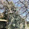 国宝・大宝寺の乳母桜が満開を迎えました