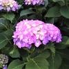 紫陽花の季節に『雨にぬれても』の『B・J・トーマス』さんの訃報