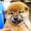 【柴犬】新メンバー・ふく姫