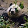 【上野動物園】ジャイアントパンダの赤ちゃん 名前を募集中!