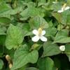 青山ハーブガーデンで見た植物⑥ ドクダミ
