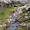 一の坂川:桜⑧