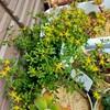 🌵多肉植物   黄色のお花が可愛いサルサヴェルデ他🌵