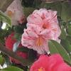 椿(ツバキ)の開花