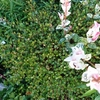 庭に植えてはいけない植物 ハツユキカズラとワイヤープランツ