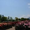 秦野市カルチャーパークの「春のバラ」が見頃を迎えています(^o^)