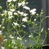 カスミソウの香りは、虫も無視した?