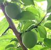 青い梅の実る季節、そして梅雨の季節。