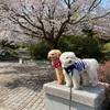 桜散りはじめたよ