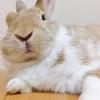 【ミニウサギのサスケ先輩】うさぎの癒し動画を毎週配信していま〜〜〜す!!