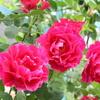 夏ですね~。庭のバラは元気です。