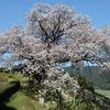 佐賀県)納戸料の百年桜、満開。