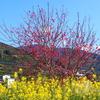 杏が満開&大洲市五郎の菜の花のじゅうたん♪