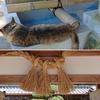 大和三山・畝傍山のふもと 畝火山口神社にて 眠り猫?注にゃ縄(しめにゃわ)?