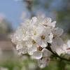 春先のアーモンド