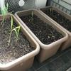 【播種から14日】とうもろこしの追肥と植え替えに挑戦。