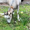 東本願寺のヤギのお話。