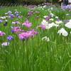 明治神宮の花菖蒲とタヌキ