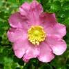 姫山椒薔薇の咲く