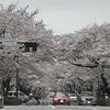 車から見る桜