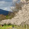「コシヒカリ」の播種と『ハゲタカ』と畔塗りと畦畔の草刈りと桜と菜の花が満開