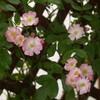 「ピンクのバラが真っ白に!」ーバレリーナ