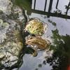 初秋のカエル鑑賞