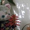 アロエの花とキャベツの芯からキャベツ畑♪ベランダガーデン♪
