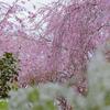 京都原谷苑の桜を見に今年も行ってきました